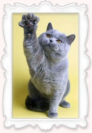 Британский кот голубого окраса Lincoln von Luanda