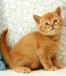 котик, окрас красный, ген. тикированный