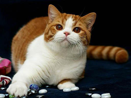Продаются британские котята