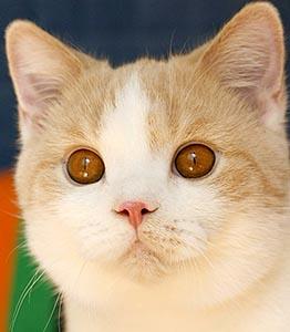 котенок кремовый арлекин