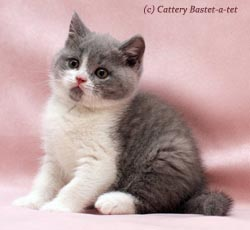котенок окраса голубой биколор