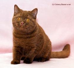котенок окраса циннамон