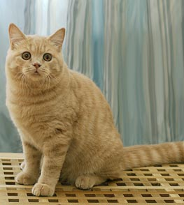 британские котята, окрас кремовый