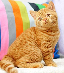 котенок красного окраса