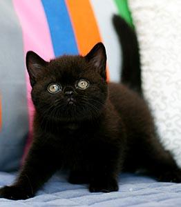 котенок черного окраса