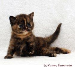 котенок окрас черно-красная