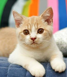 котенок, окрас кремовый биколор