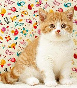 котенок красный биколор