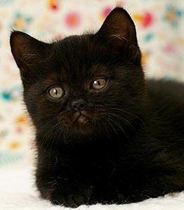 котенок, окрас черный