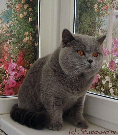 Отец котят британский голубой кот Чемпион Мира Arnold British Symphony.